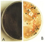Fig. 32. (A) Fungal population on the internal face of the glass. (B)                             Balanced microflora on the external face of the glass.